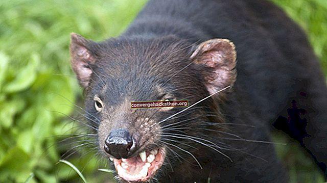 Tasmaniska språk