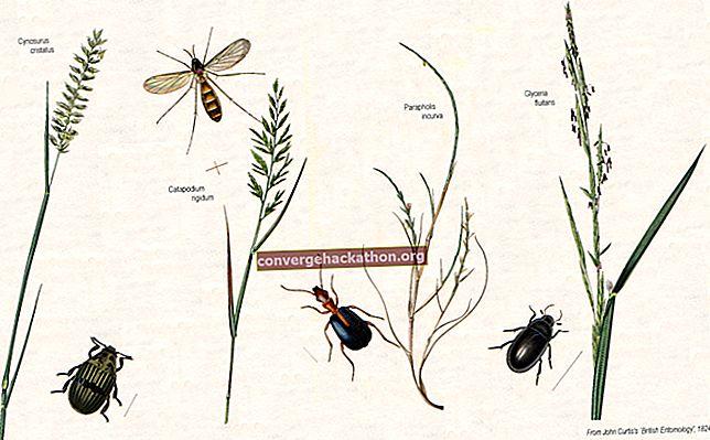 Poaceae ailesinin ekonomik açıdan önemli üyelerinin listesi